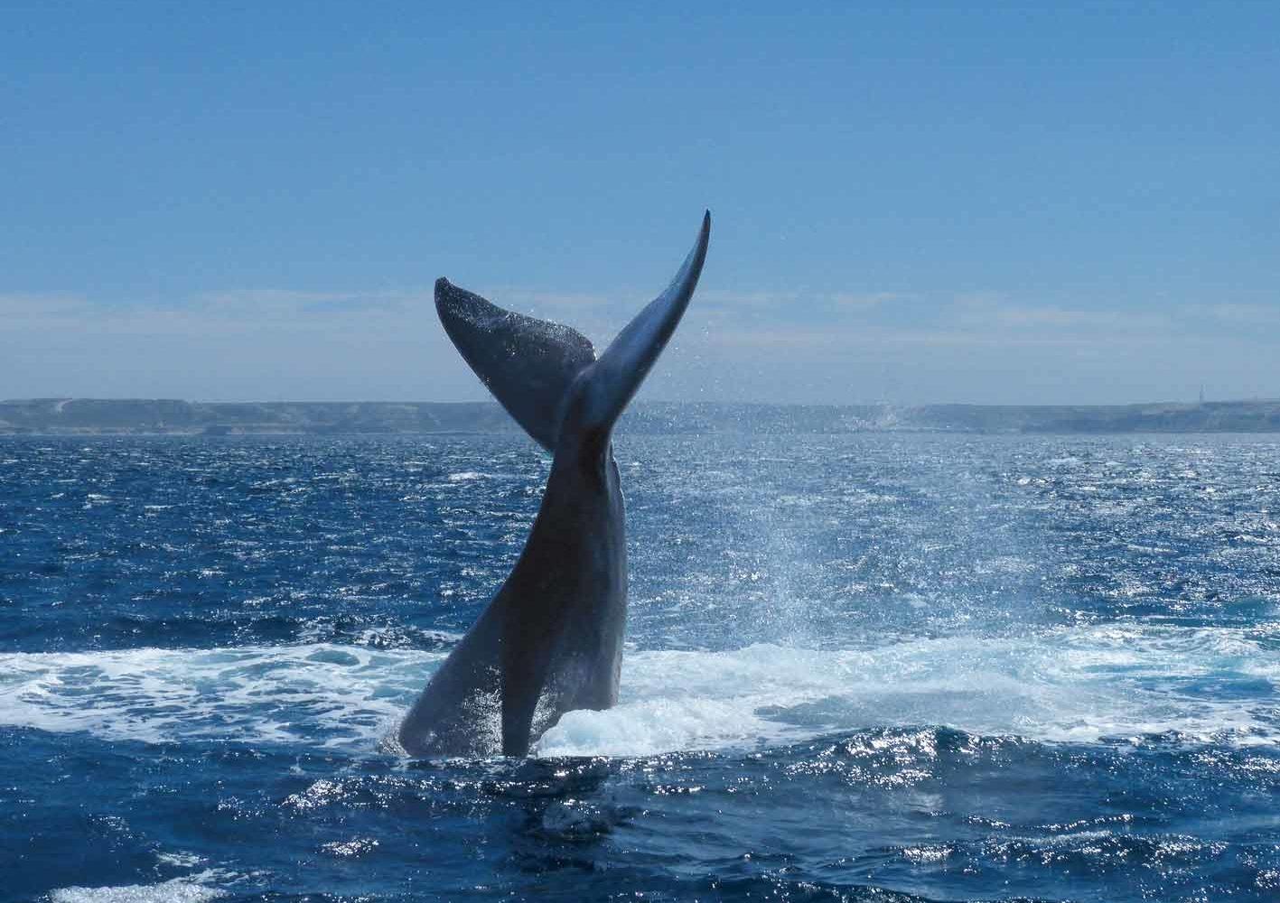 Bei der Península Valdés gehen Sie auf eine Walbeobachtungstour