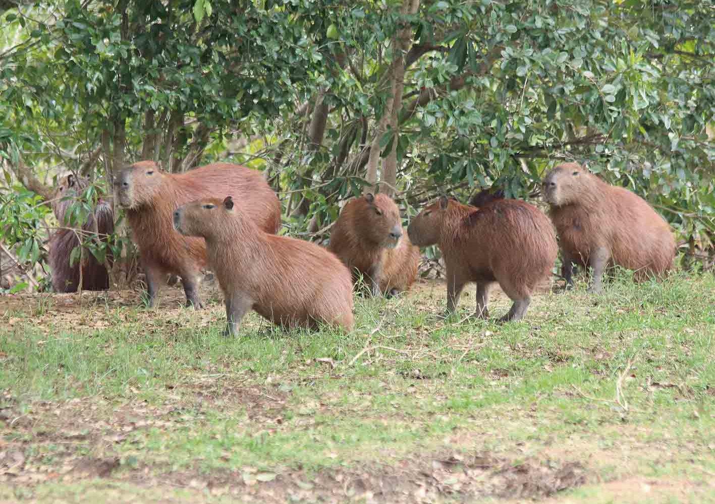Auch Capybaras können gesichtet werden.
