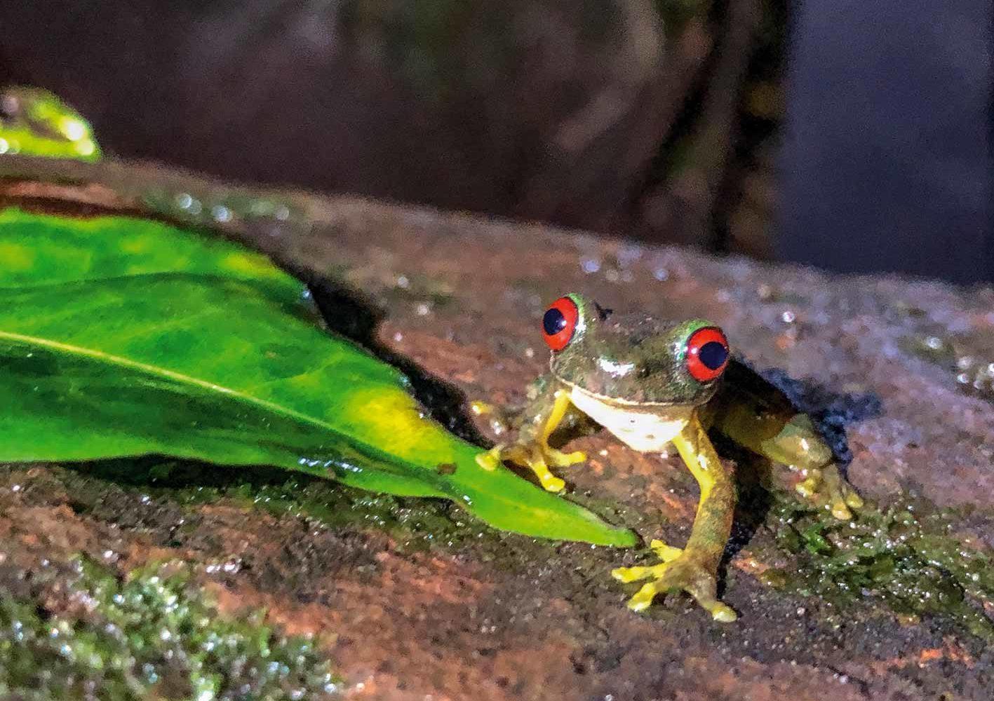 Rotaugenlaubfrosch im Monteverde-Nebelwald, Costa Rica
