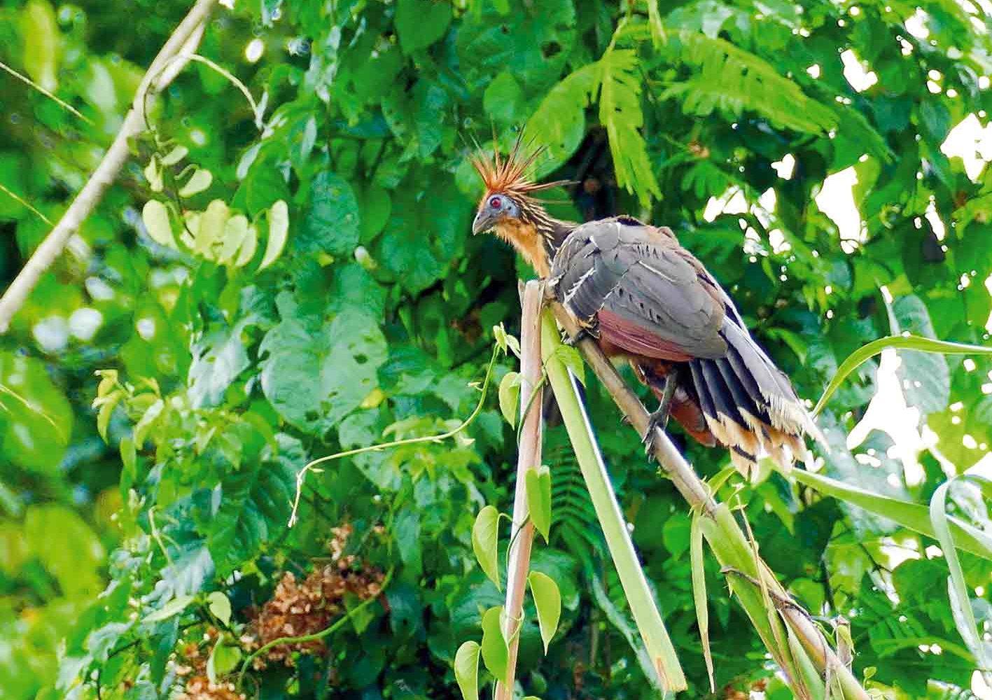 Hoatzin – Urvogel, entdeckt auf einer Kanufahrt
