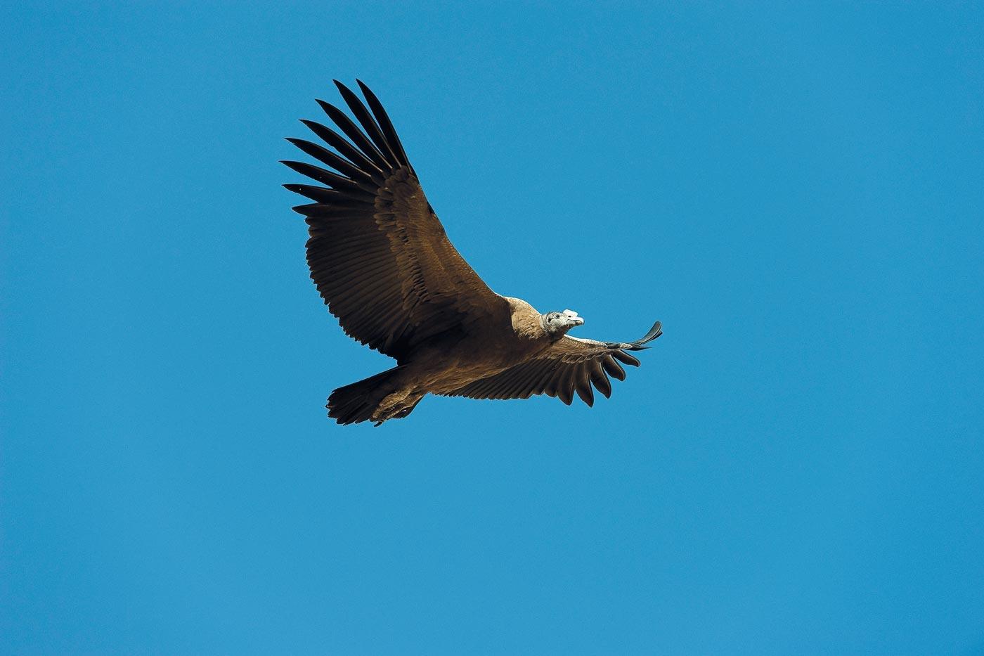 Andenkondor - der grösste Vogel der Welt