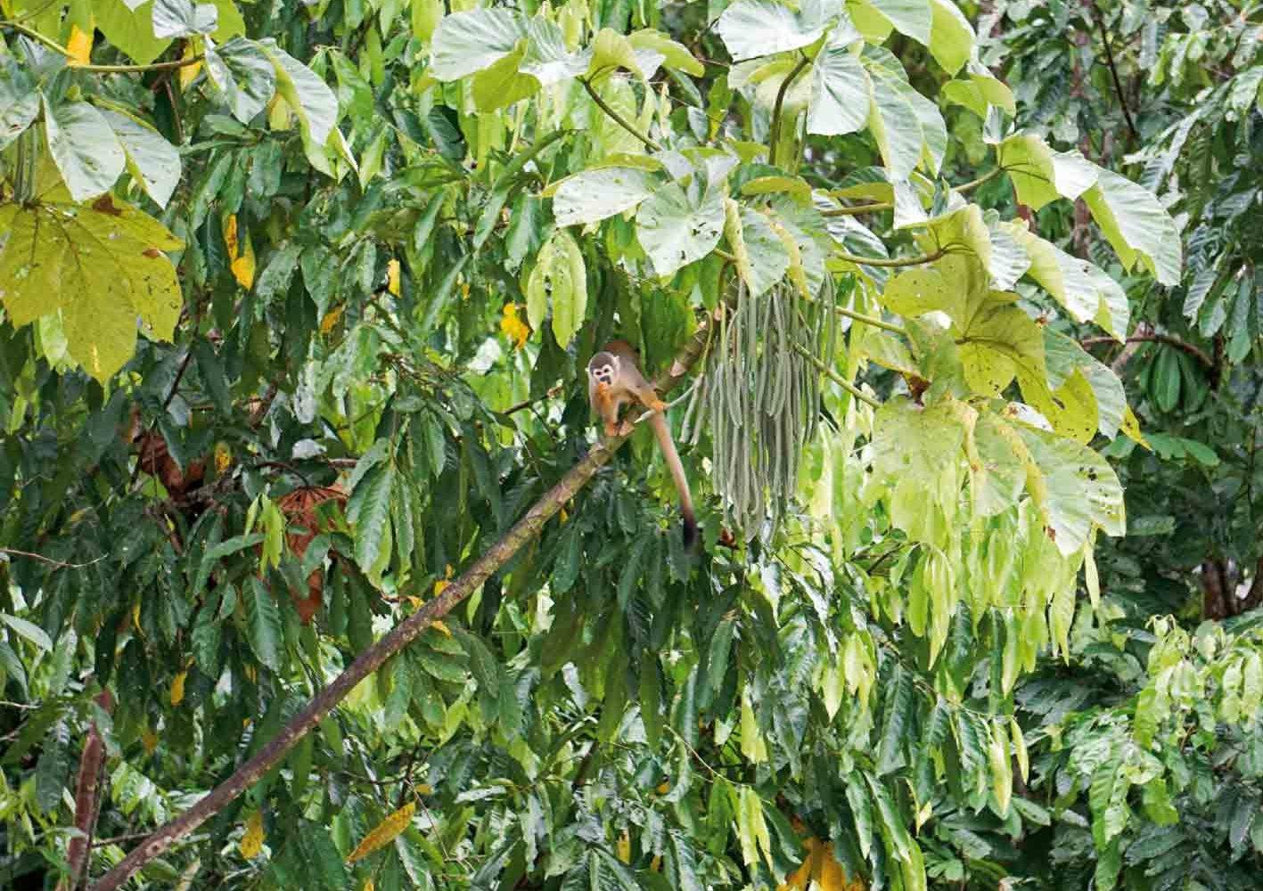 Häufig können wir auf den Bäumen Totenkopfaffen beobachten