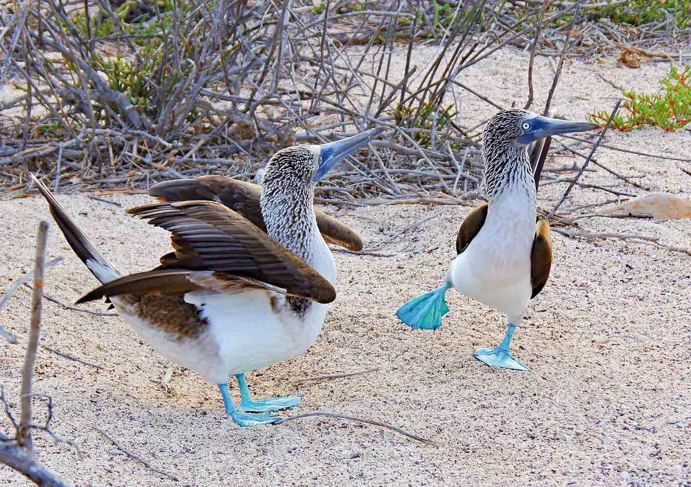 Galápagos: Blaufusstölpel bei ihrem typischen Balzverhalten