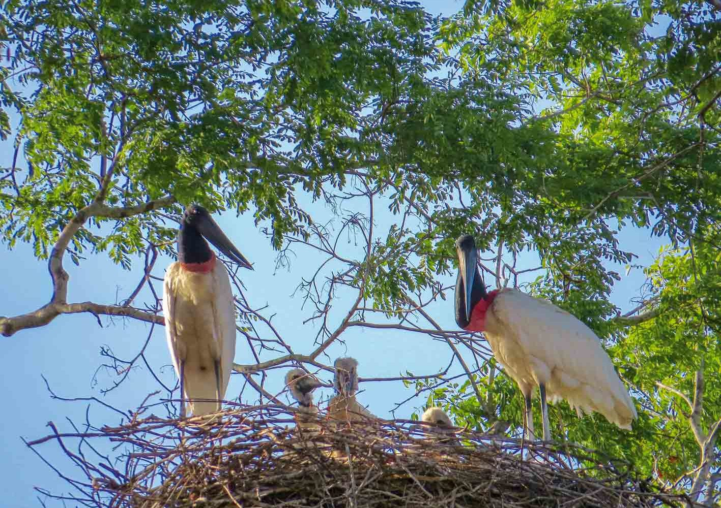 Jabiru-Familie in Guyana