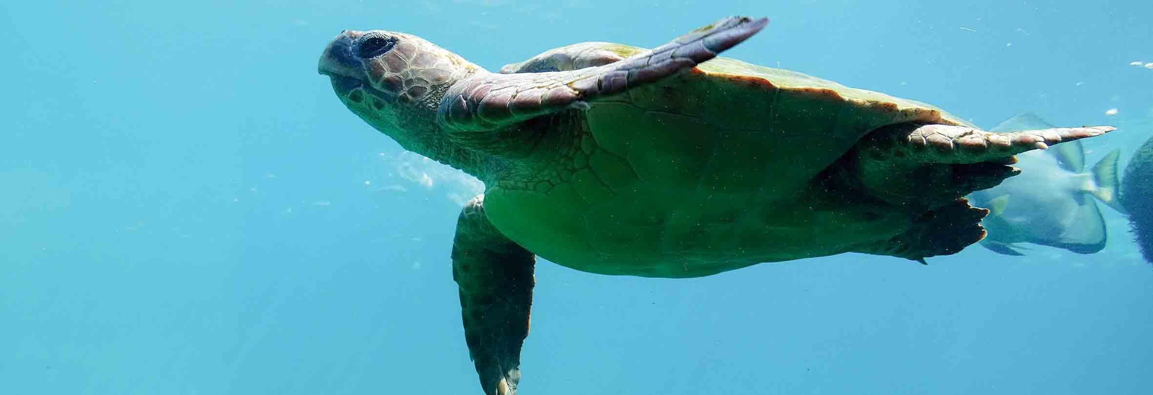 Schildkröte, La Réunion