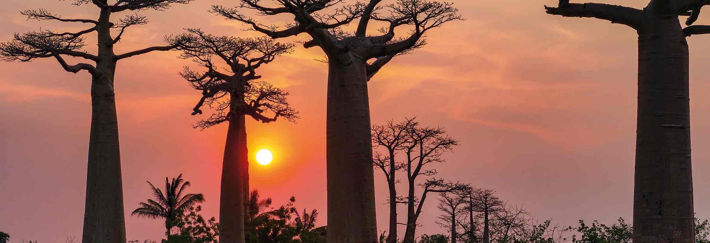 Baobab-Allee bei Sonnenuntergang, Madagaskar
