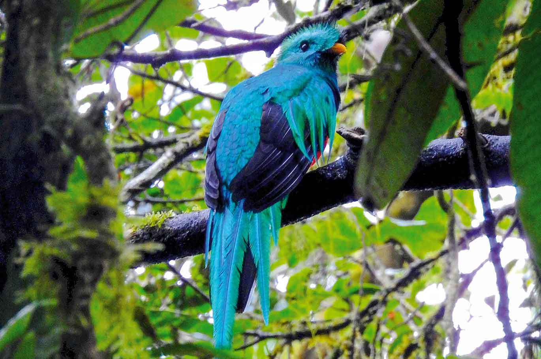 Quetzal, gesichtet auf einer Wanderung, Panama