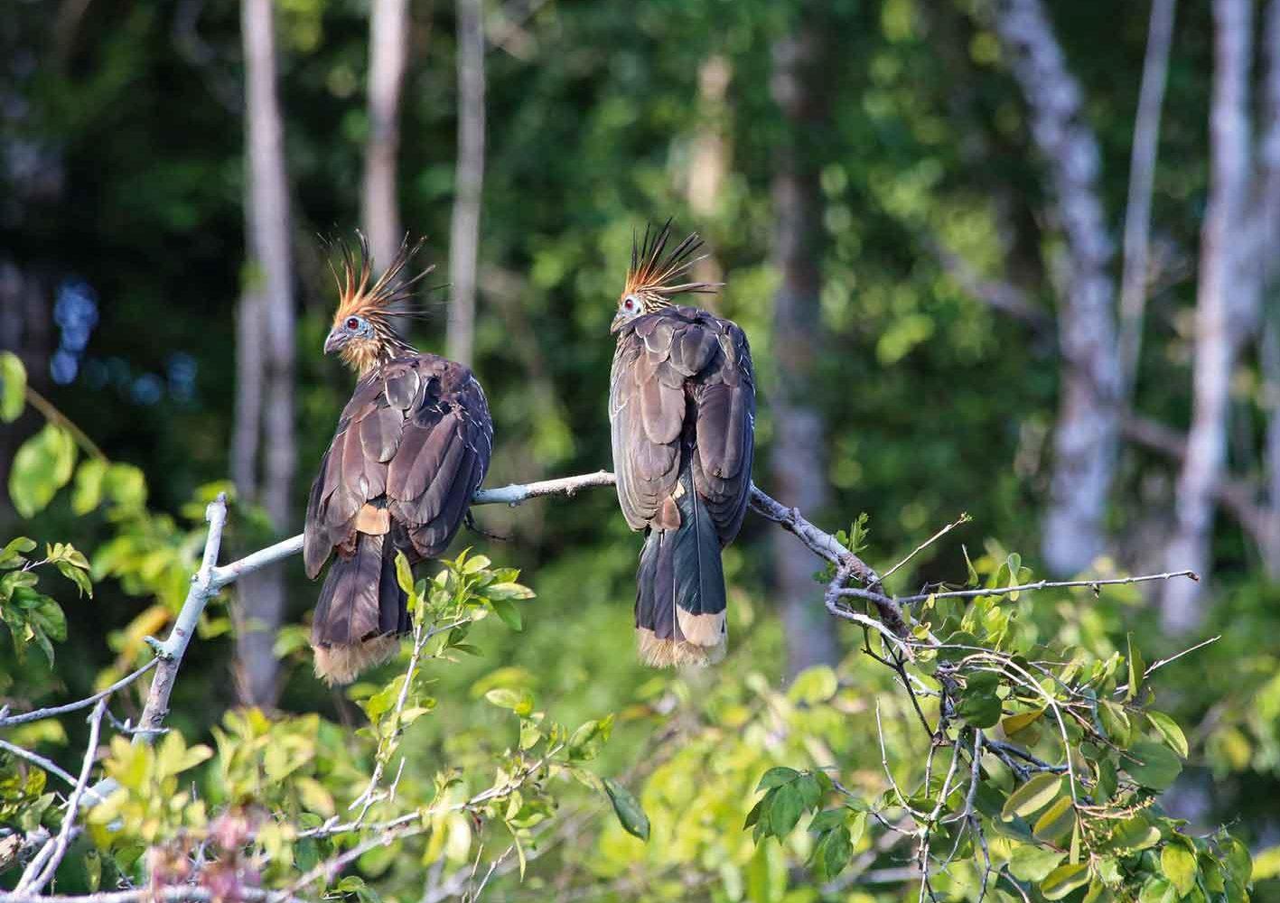 Hoatzine (Urvogel) im Amazonas von Peru