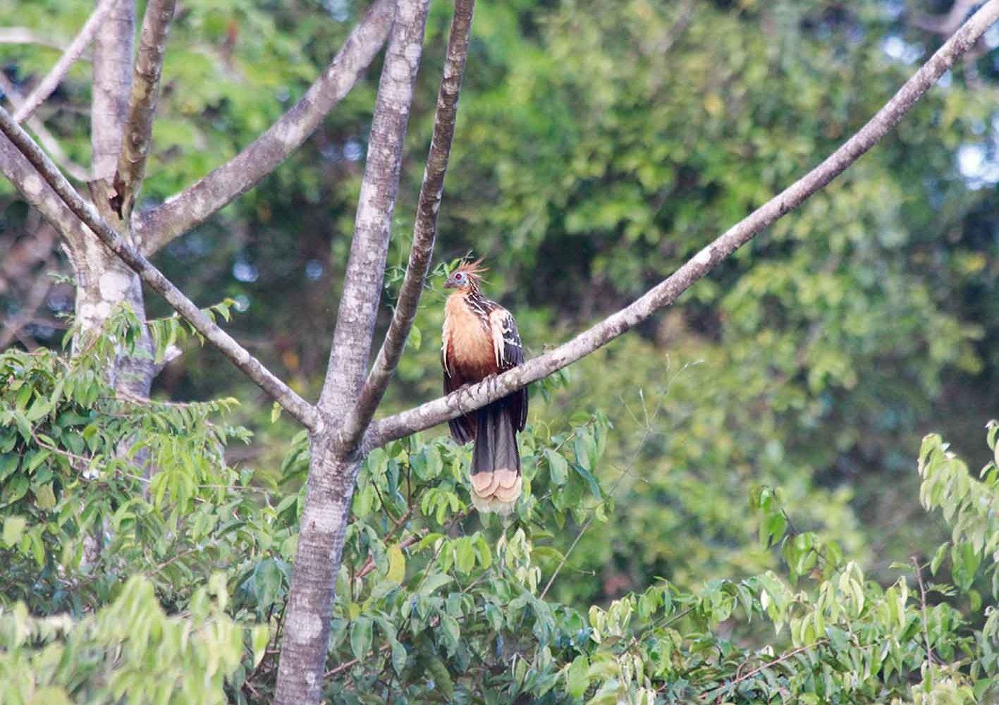 Hoatzin im Urwald von Peru