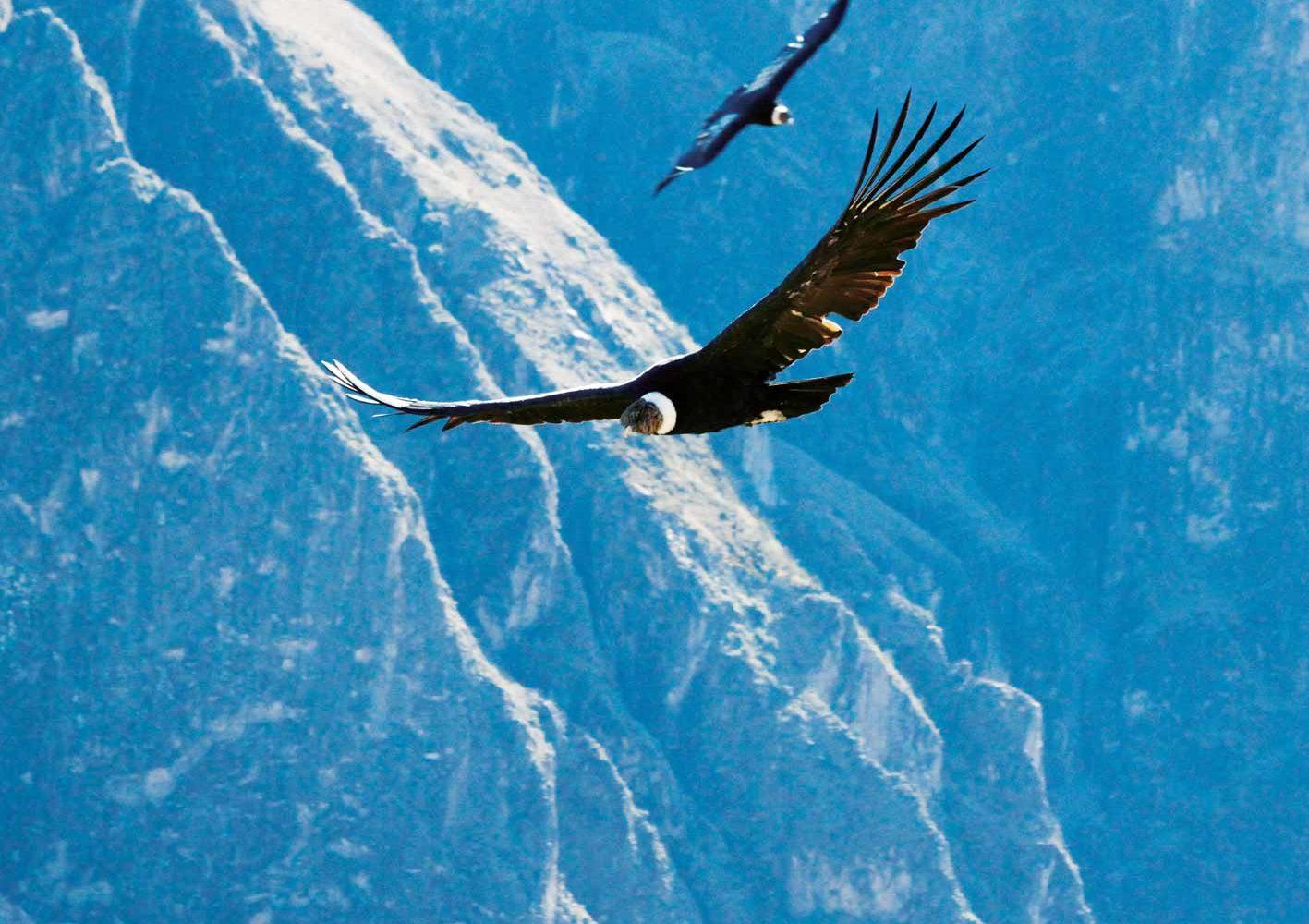 Kondore im Flug, Colca Canyon, Peru