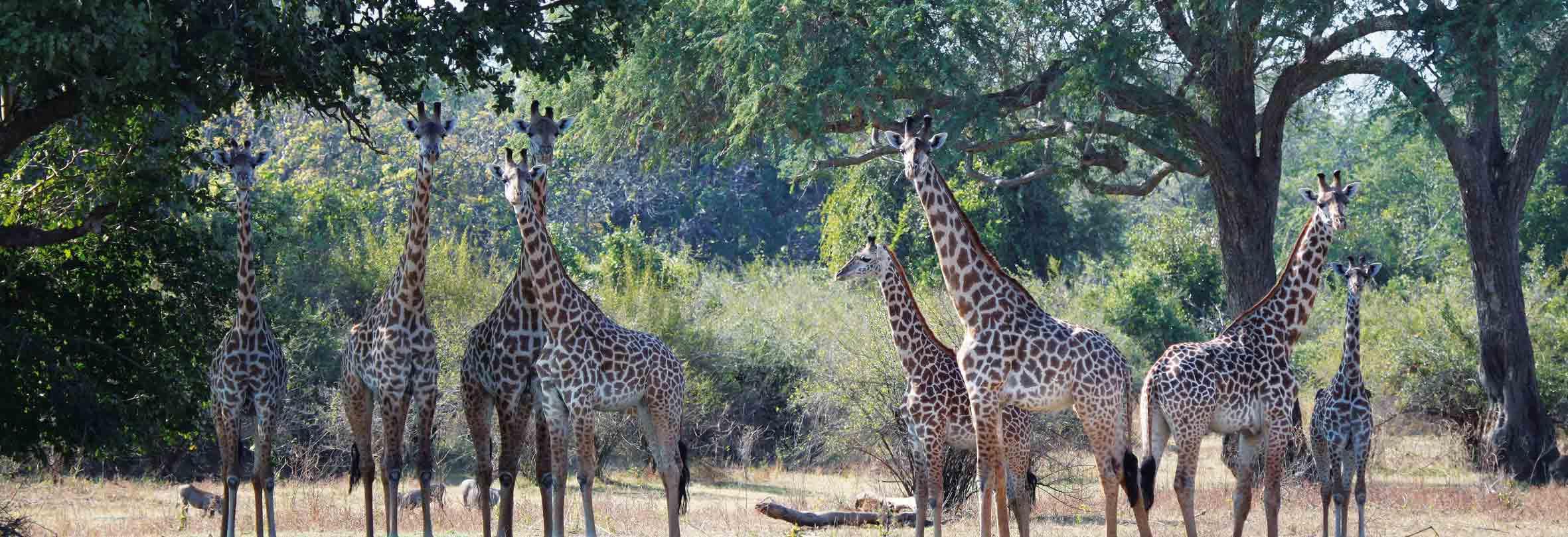 Giraffen, gesichtet auf einer Walking Safari