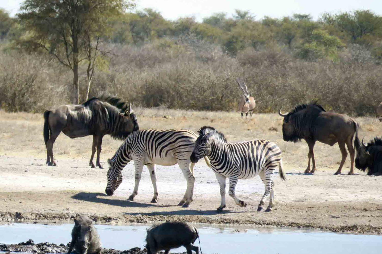 Wasser lockt Zebras, Warzenschweine, Gnus und Oryxe an.