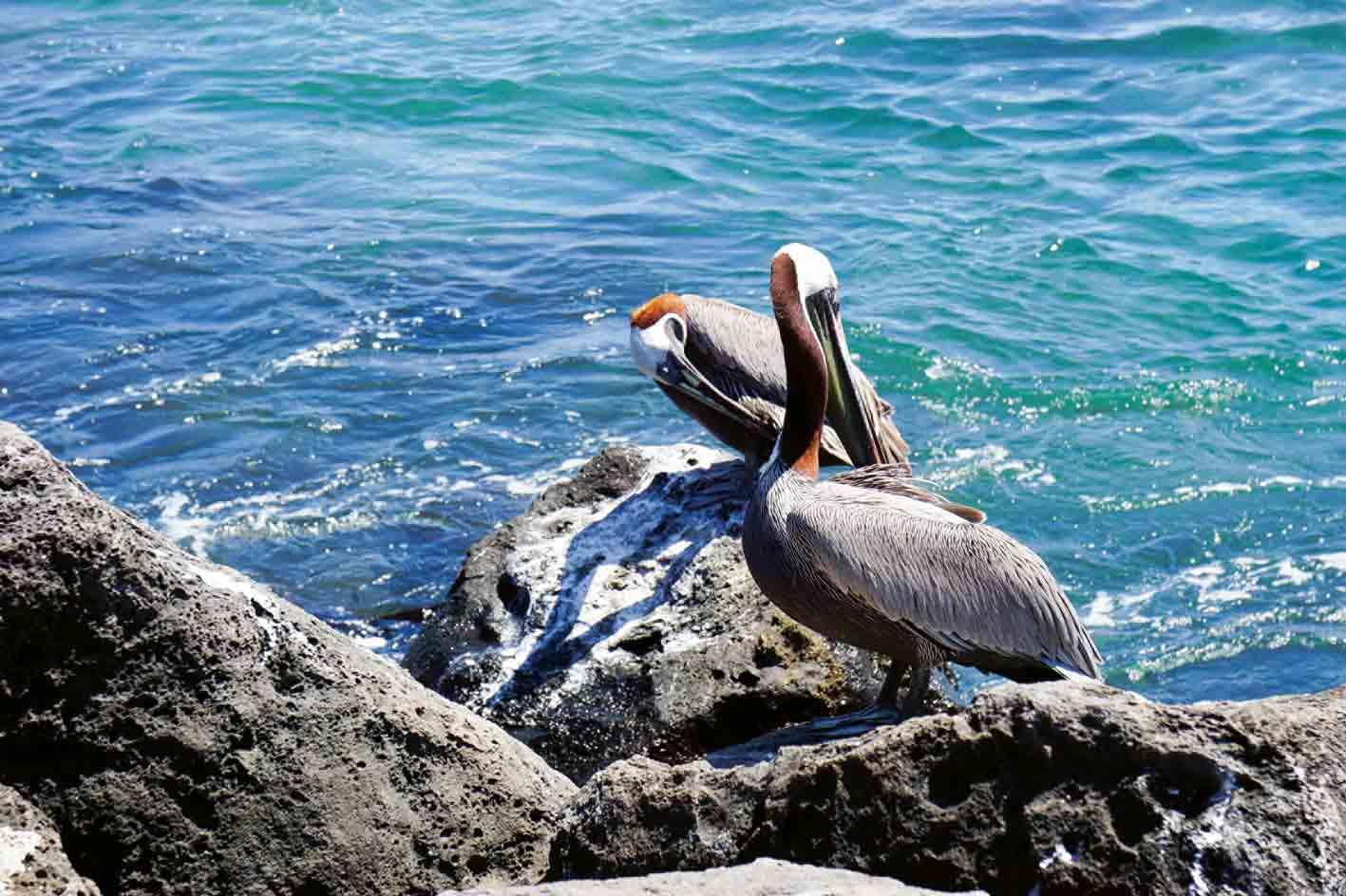 Pelikane auf Galápagos