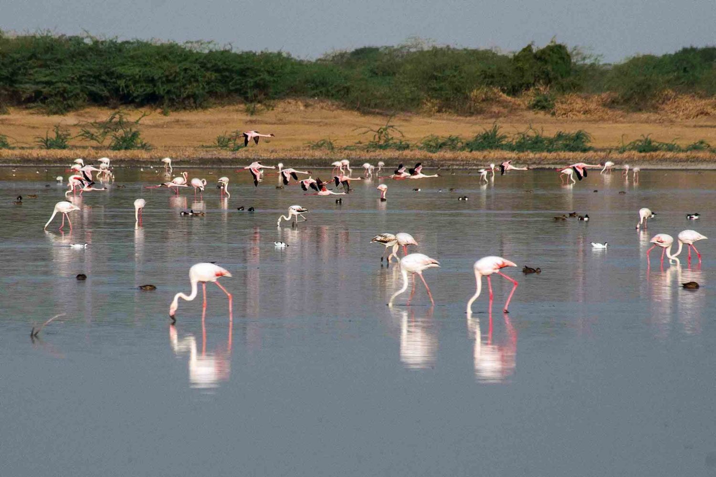 Flamingos, Little Rann of Kutch, Indien