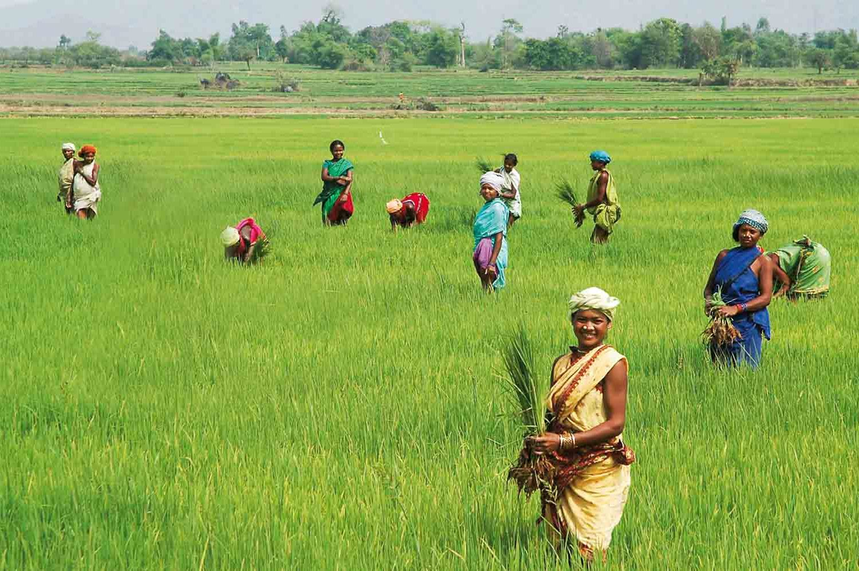Reisanbau in Assam