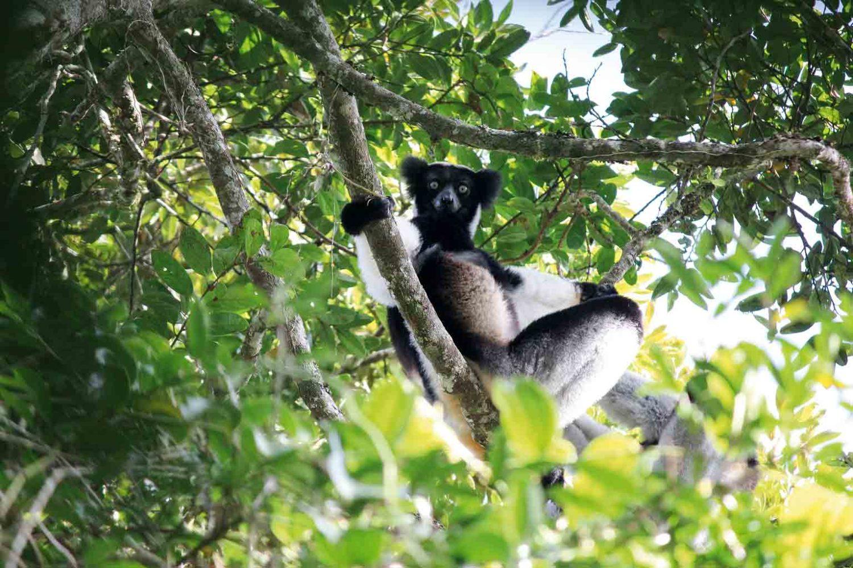 Indri Indri-Lemur auf Madagaskar