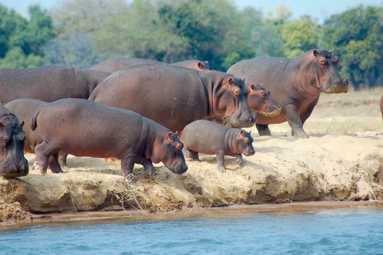 Flinke Flusspferde, gesichtet in Zambia.