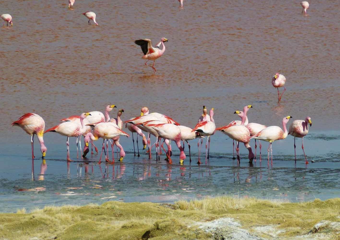Flamingos an einer Lagune im Hochland von Bolivien