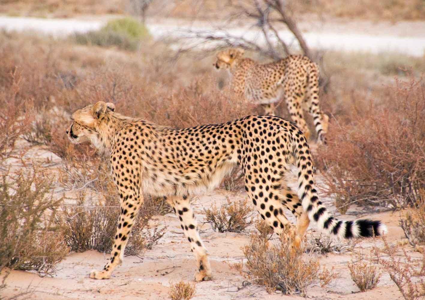 Gepard, gesichtet auf einer Safari, Botswana