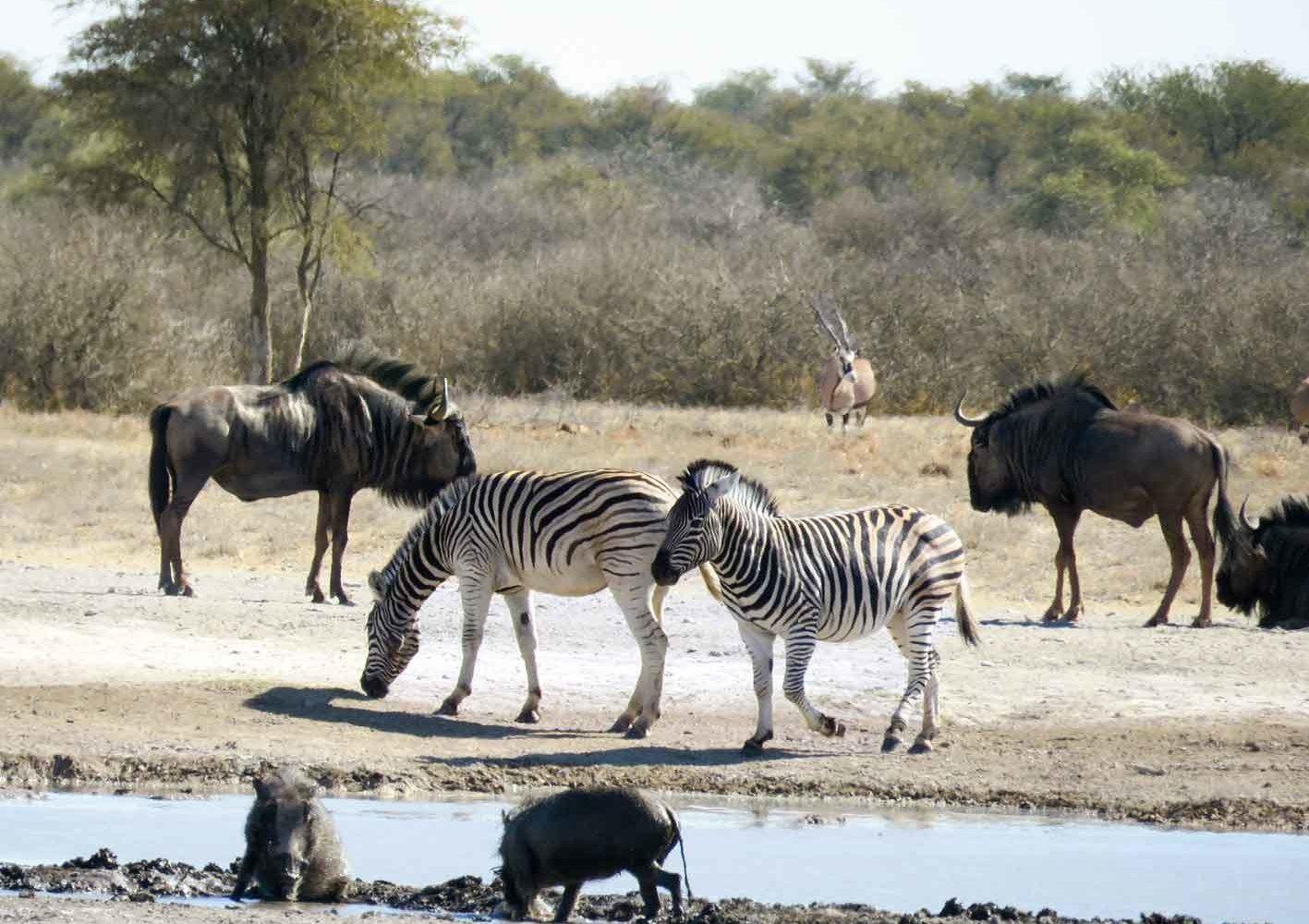 Wasser lockt Zebras, Warzenschweine, Gnus und Oryxe an, Botswana
