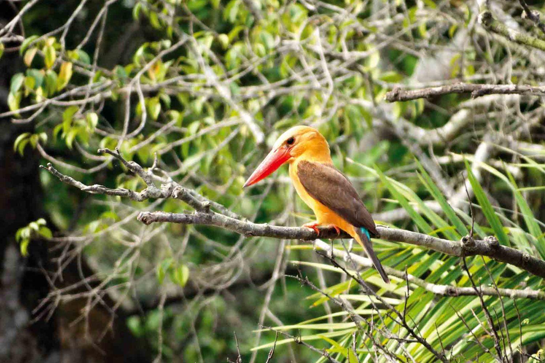 Braunflügelliest im Sundarban-Nationalpark, Indien