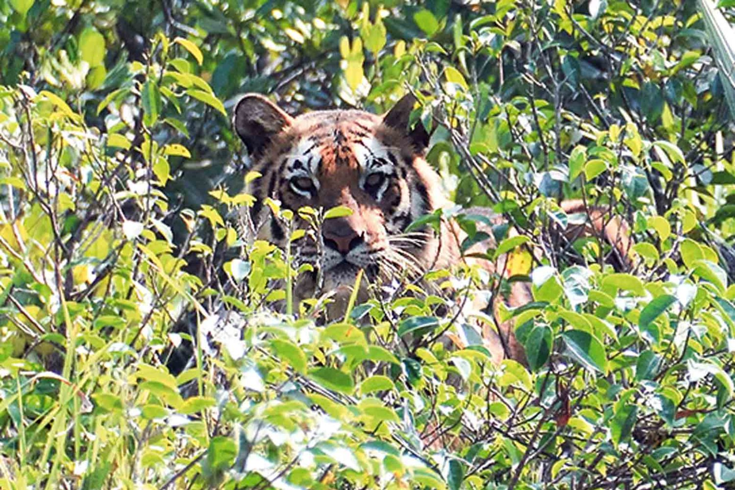 Tiger im Sundarban-Nationalpark, Indien