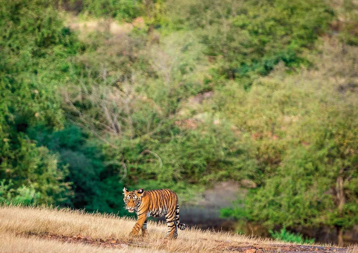 Tiger im Ranthambore-Nationalpark, Indien