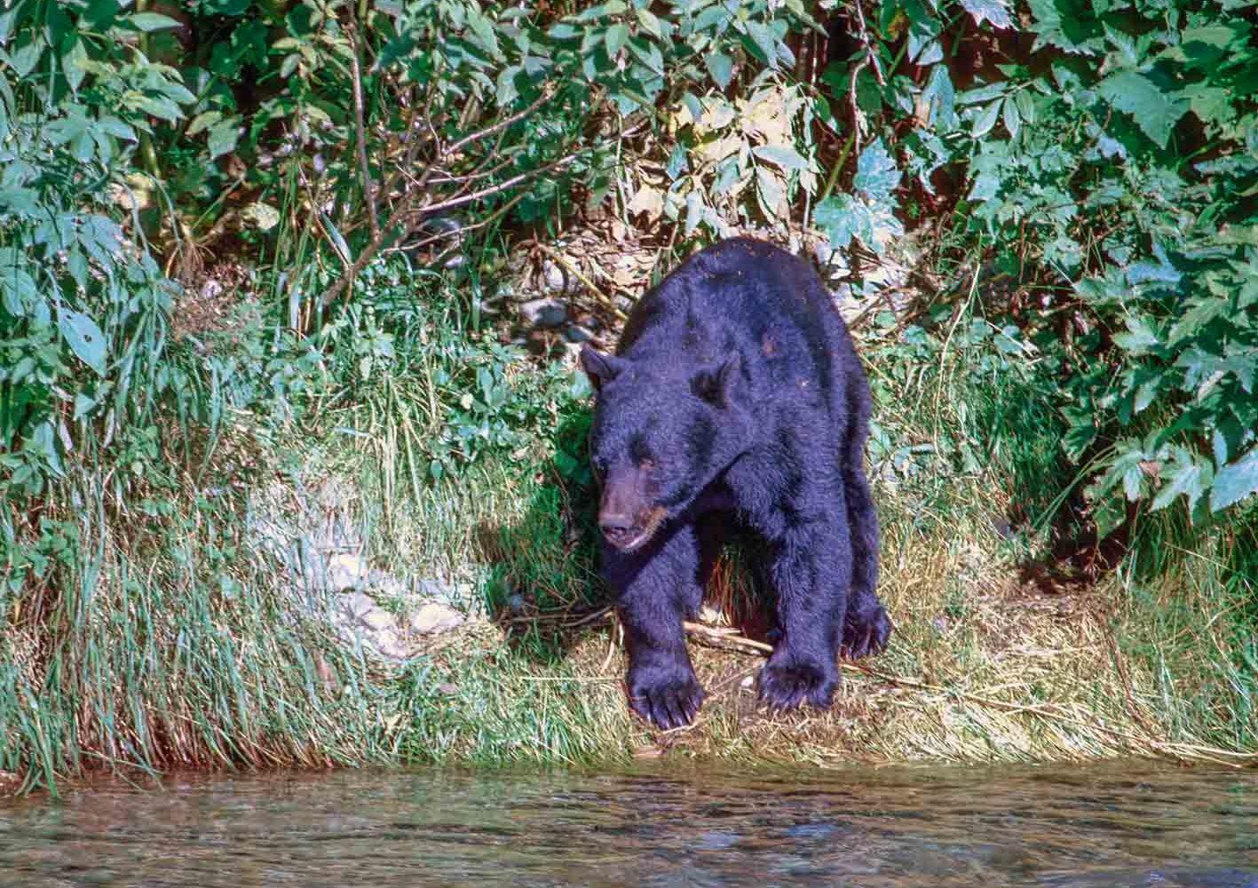 Schwarzbär, Yukon, Kanada