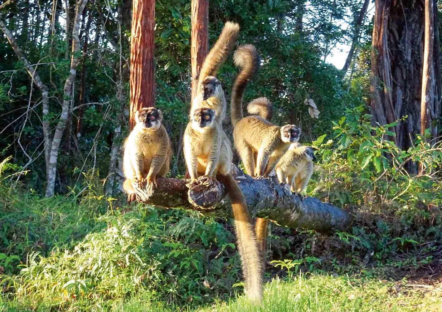 Lemuren in einem Nationalpark auf Madagaskar