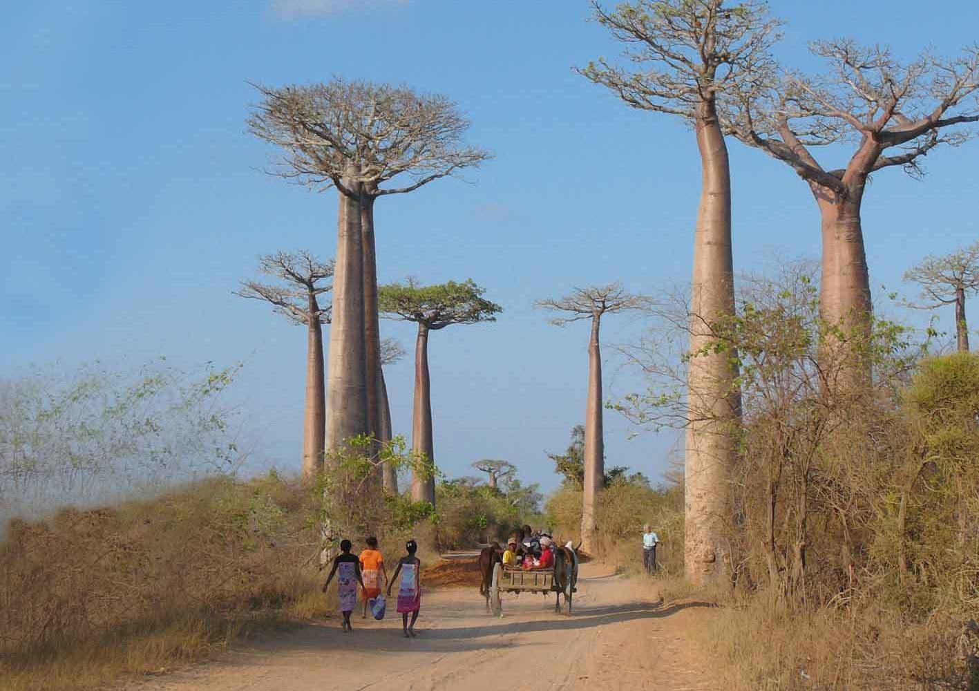 Berühmte Baobab-Allee bei Morondava, Madagaskar