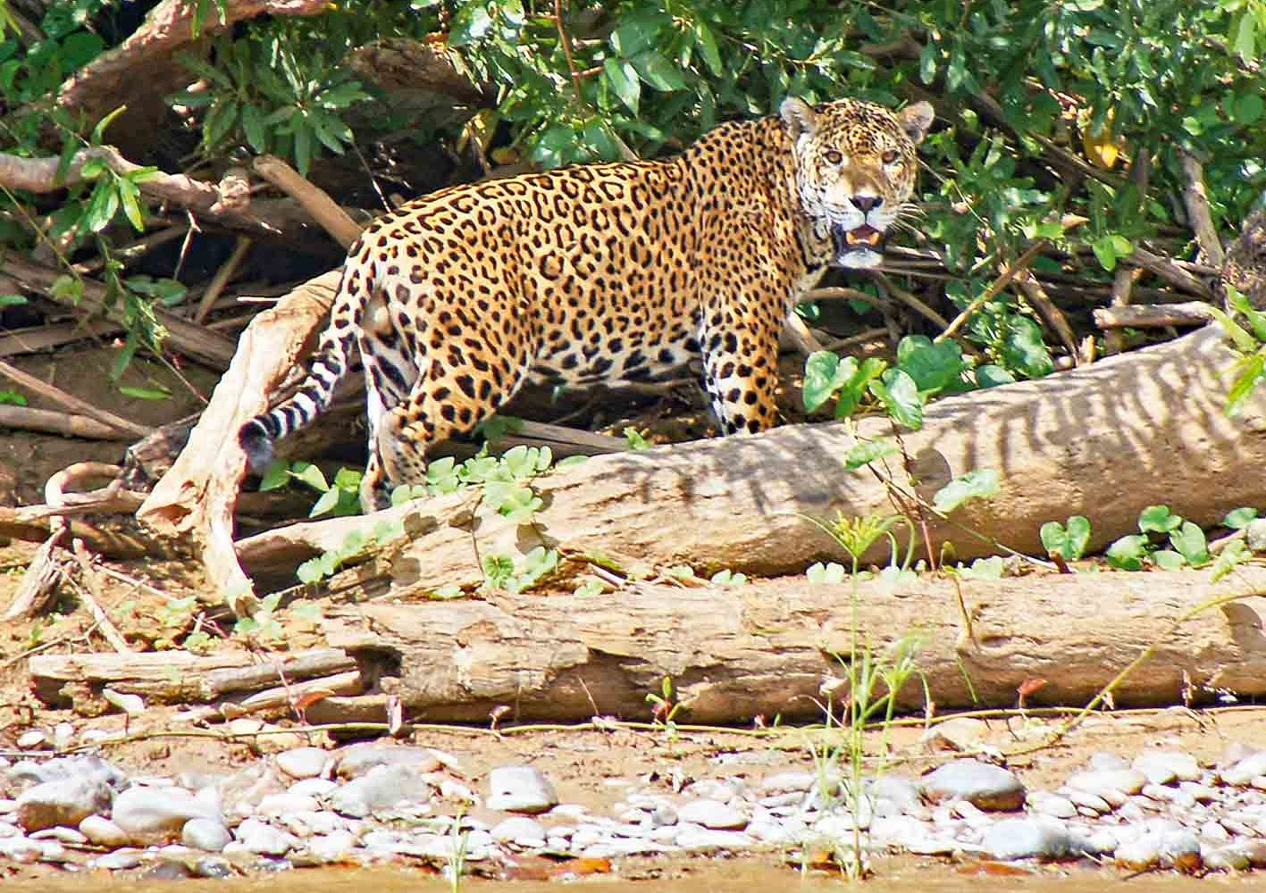 Jaguar gesichtet im Manú-Nationalpark