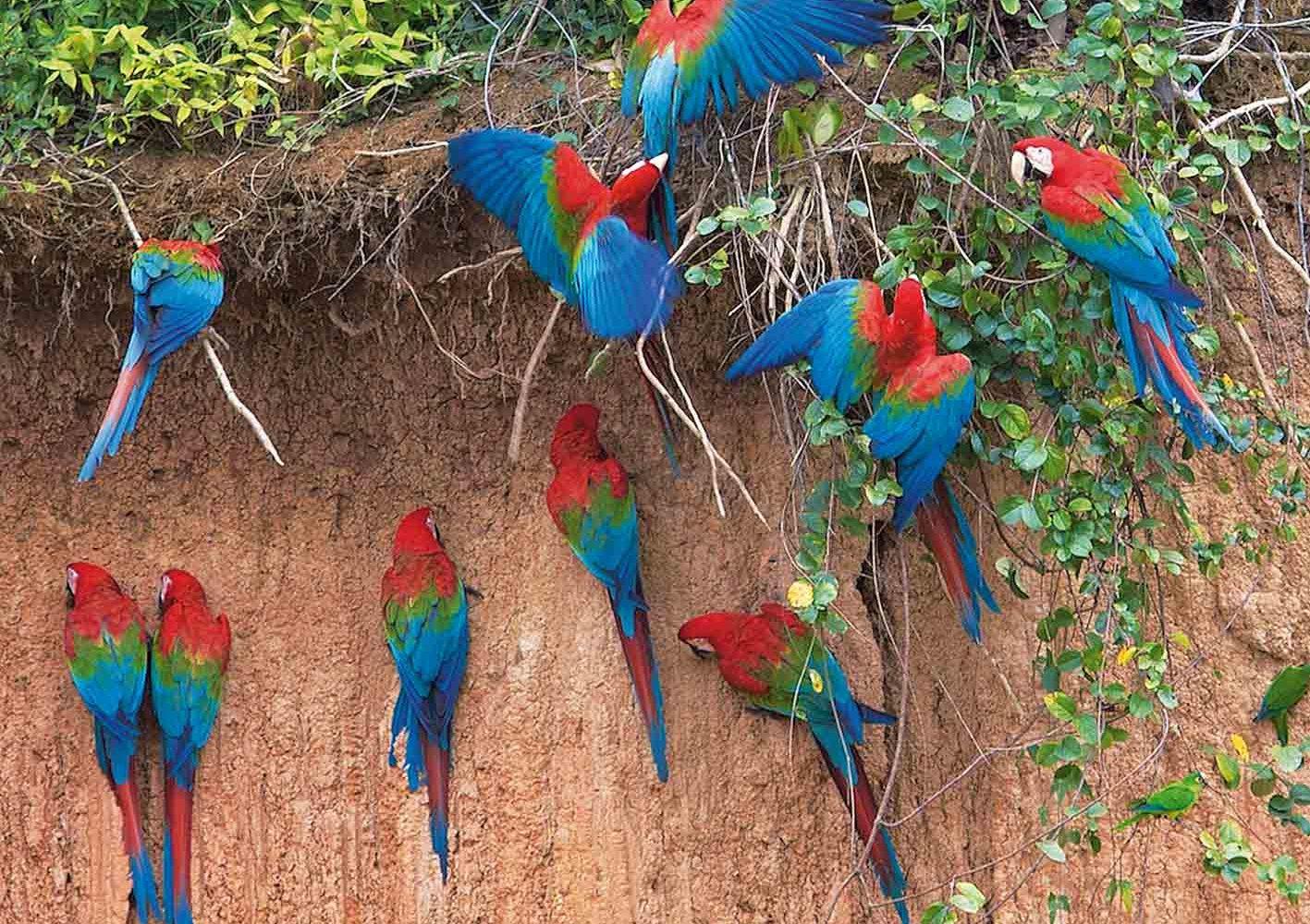 Papageien-Salzlecke im Amazonas, Peru