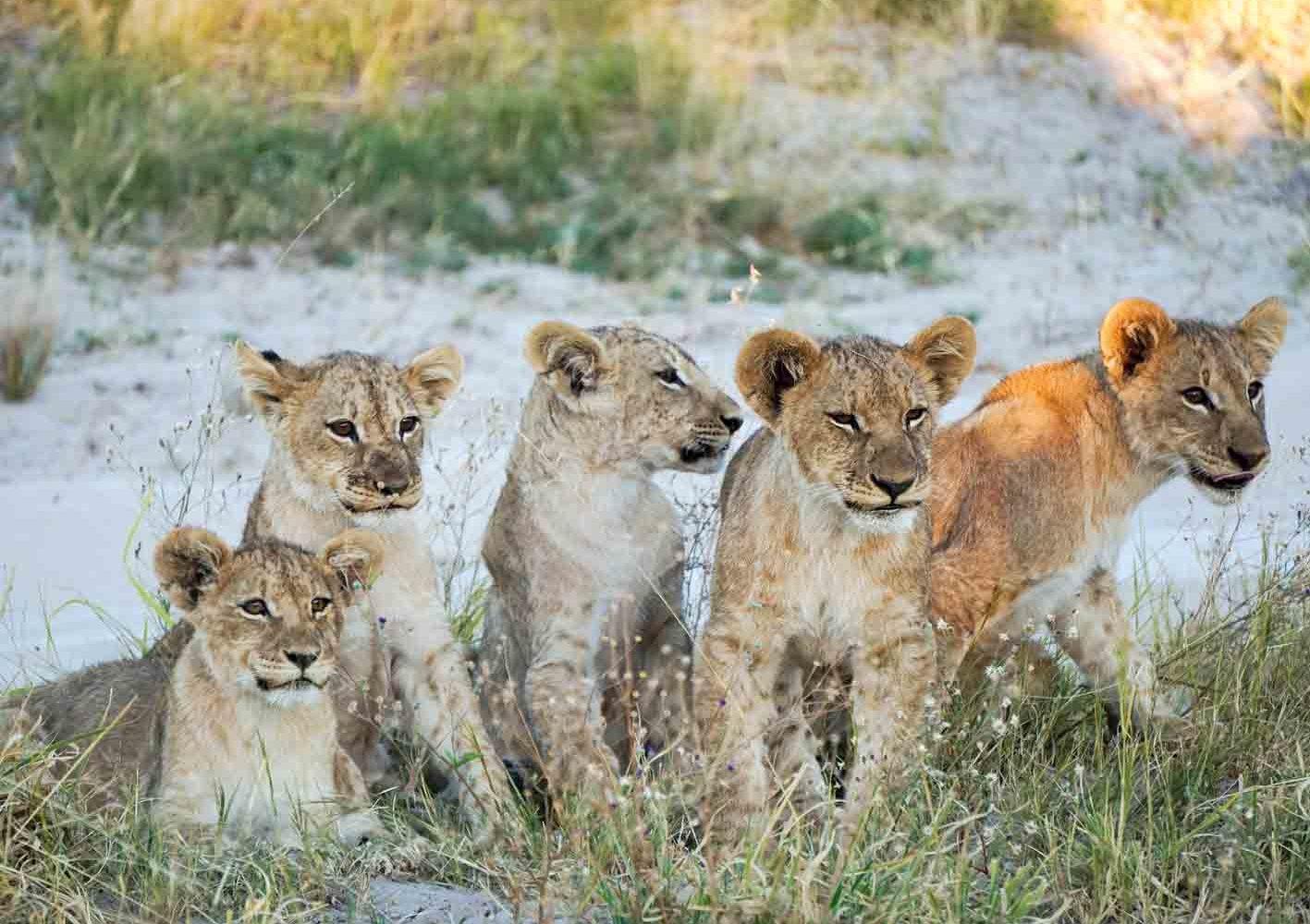 Junge Löwengruppe