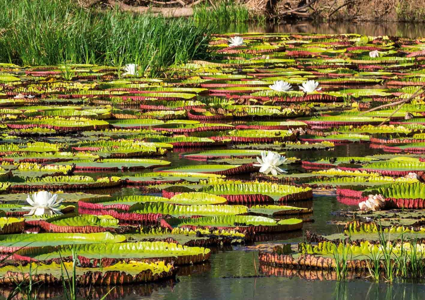 Victoria amazonica - die Amazonas-Riesenseerose finden wir in Guyana