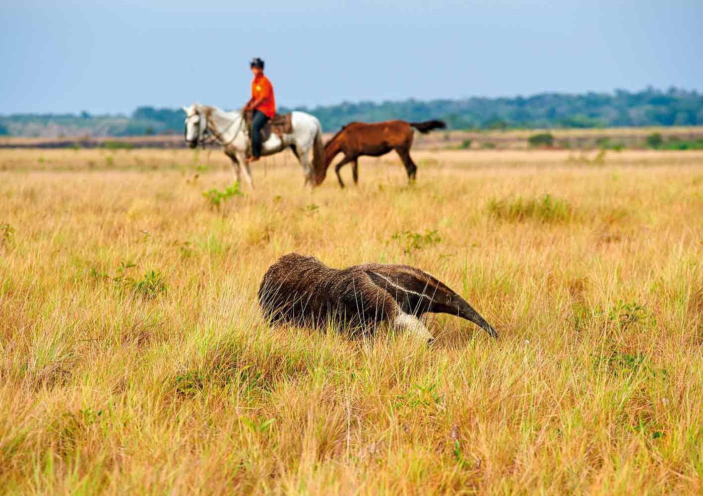In der Savanne sehen wir mit etwas Glück einen Ameisenbären, Guyana