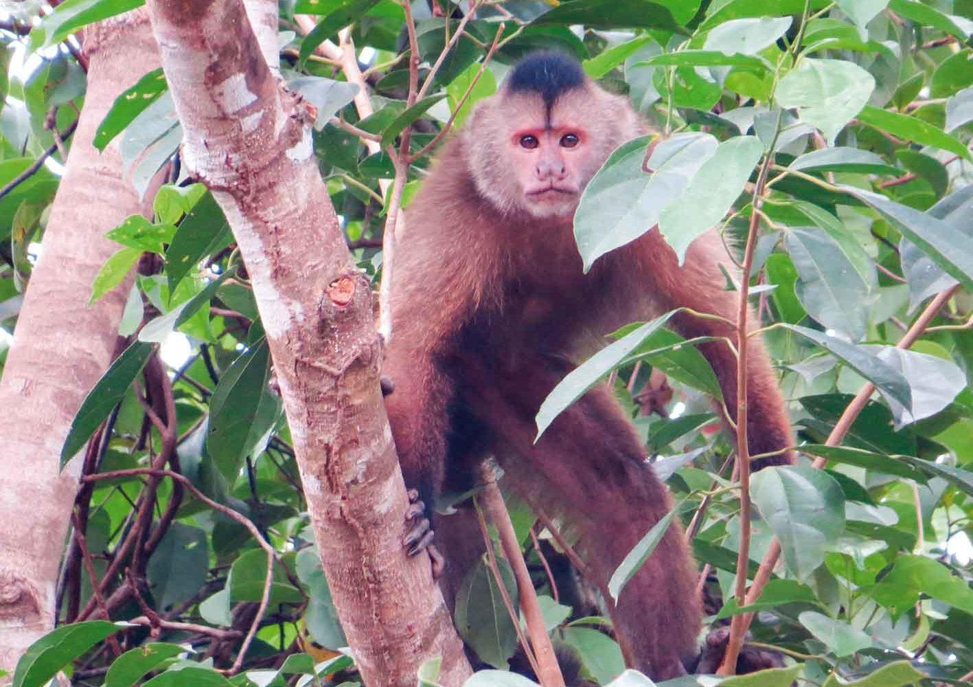Brauner Kapuzineraffe, Guyana
