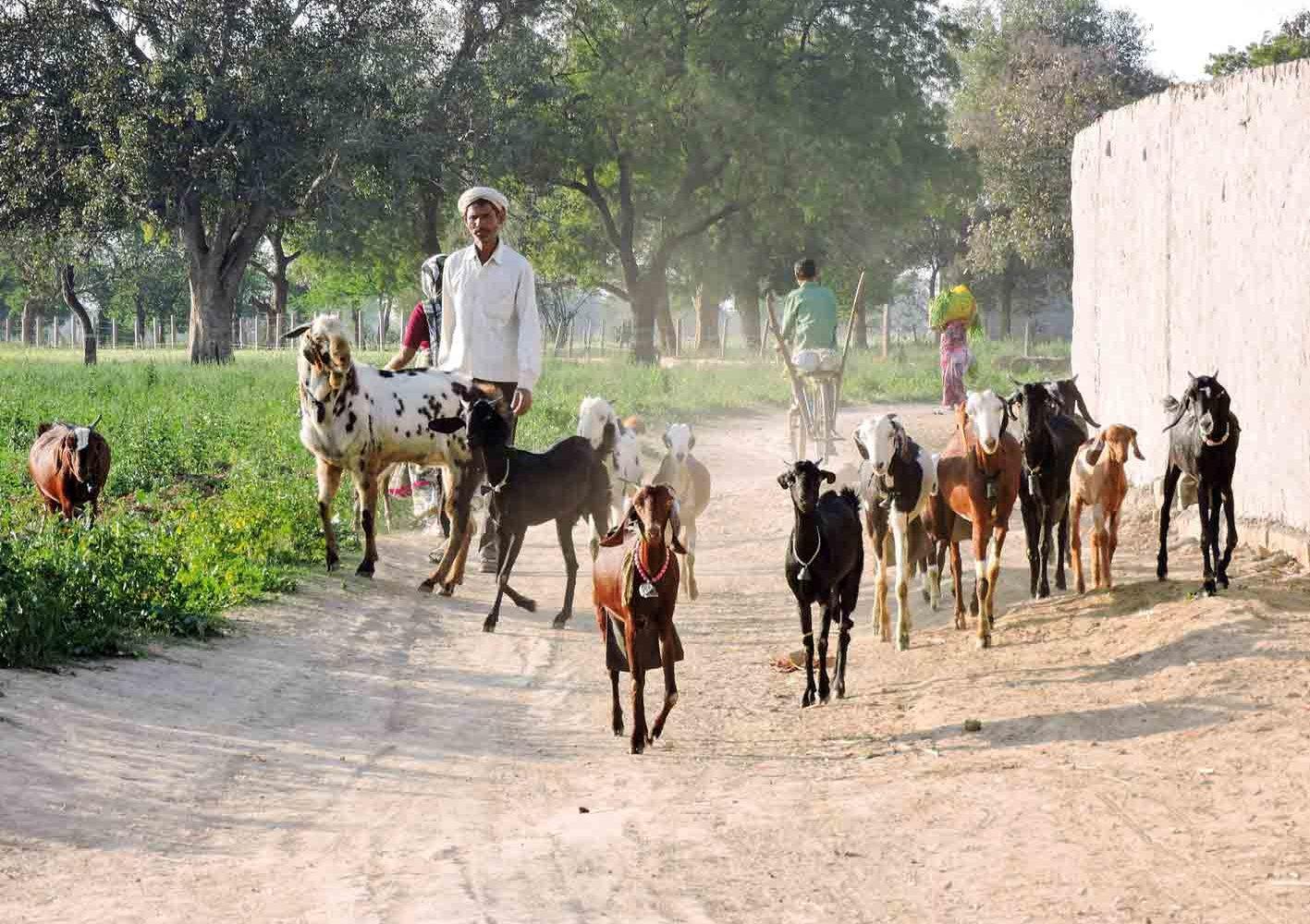Rajasthan: Ein Bauer mit seiner Ziegenherden im ländlichen Indien