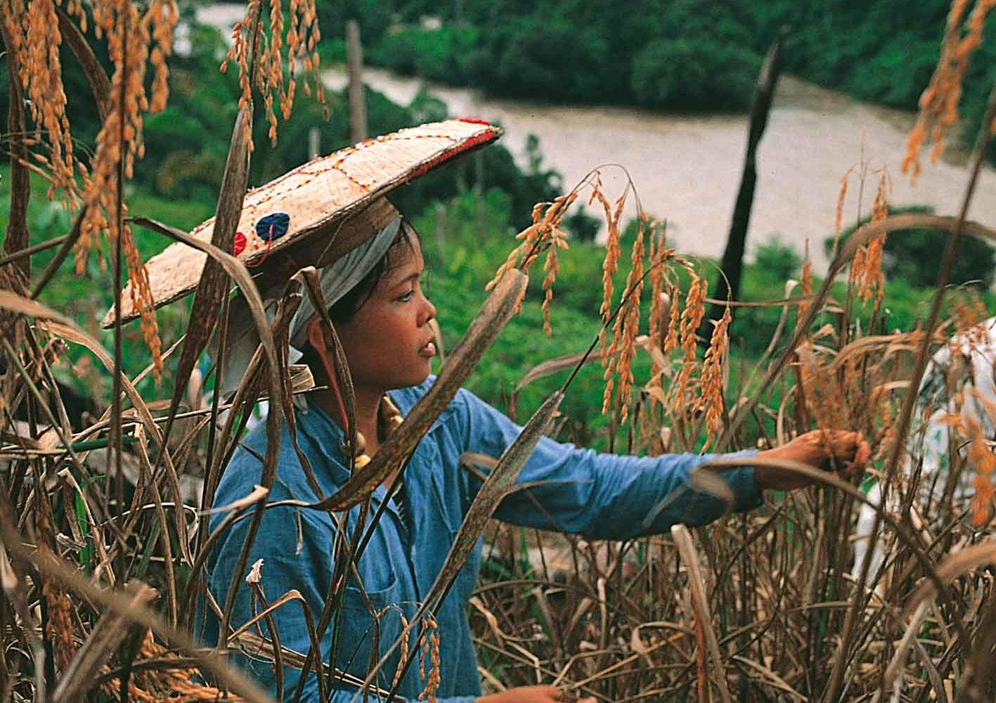 Arbeit auf dem Getreidefeld, Borneo, Malaysia
