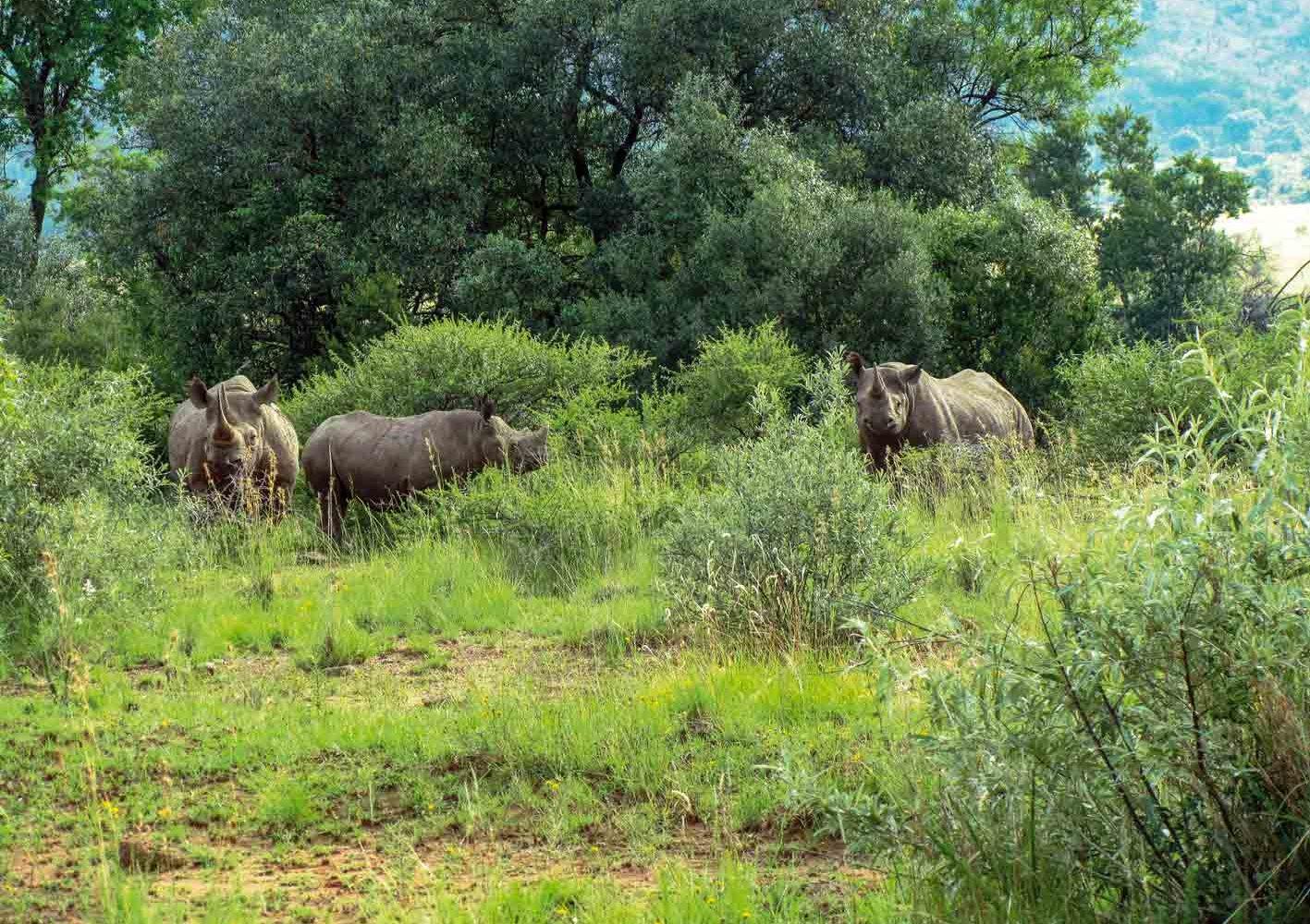 Nashörner im Pilanesberg-Nationalpark