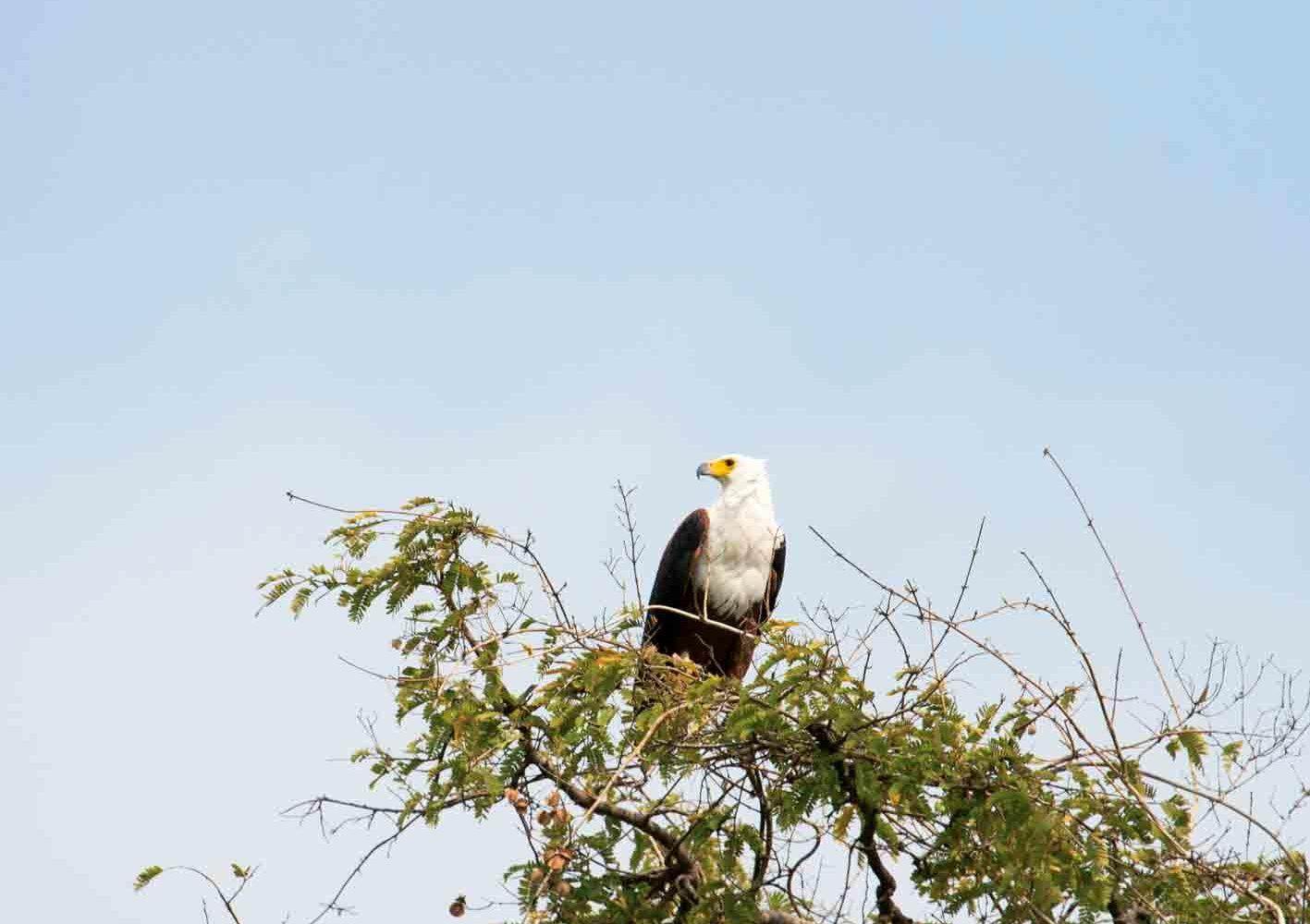 Adler in Zambia