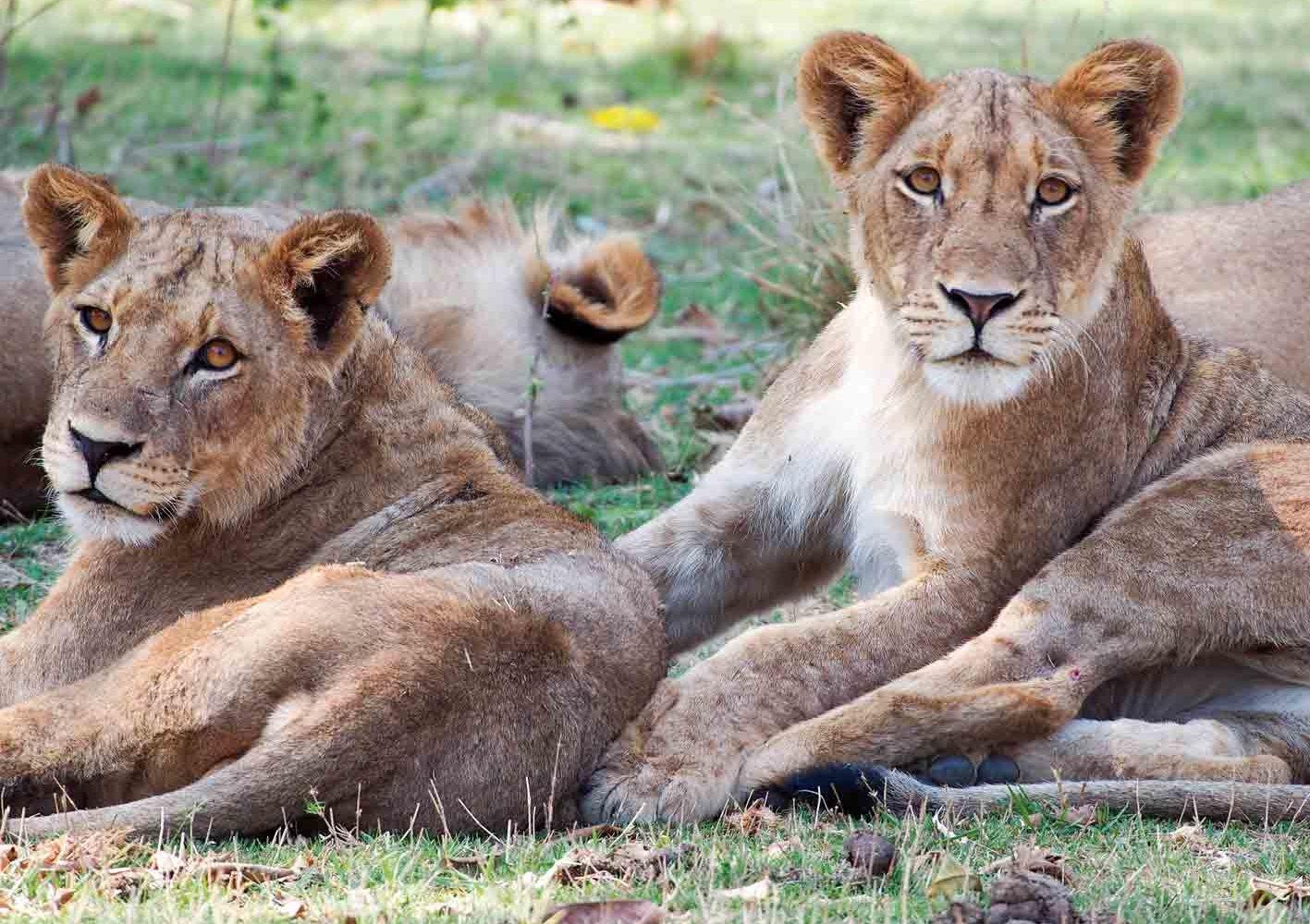 Löwen-Familie