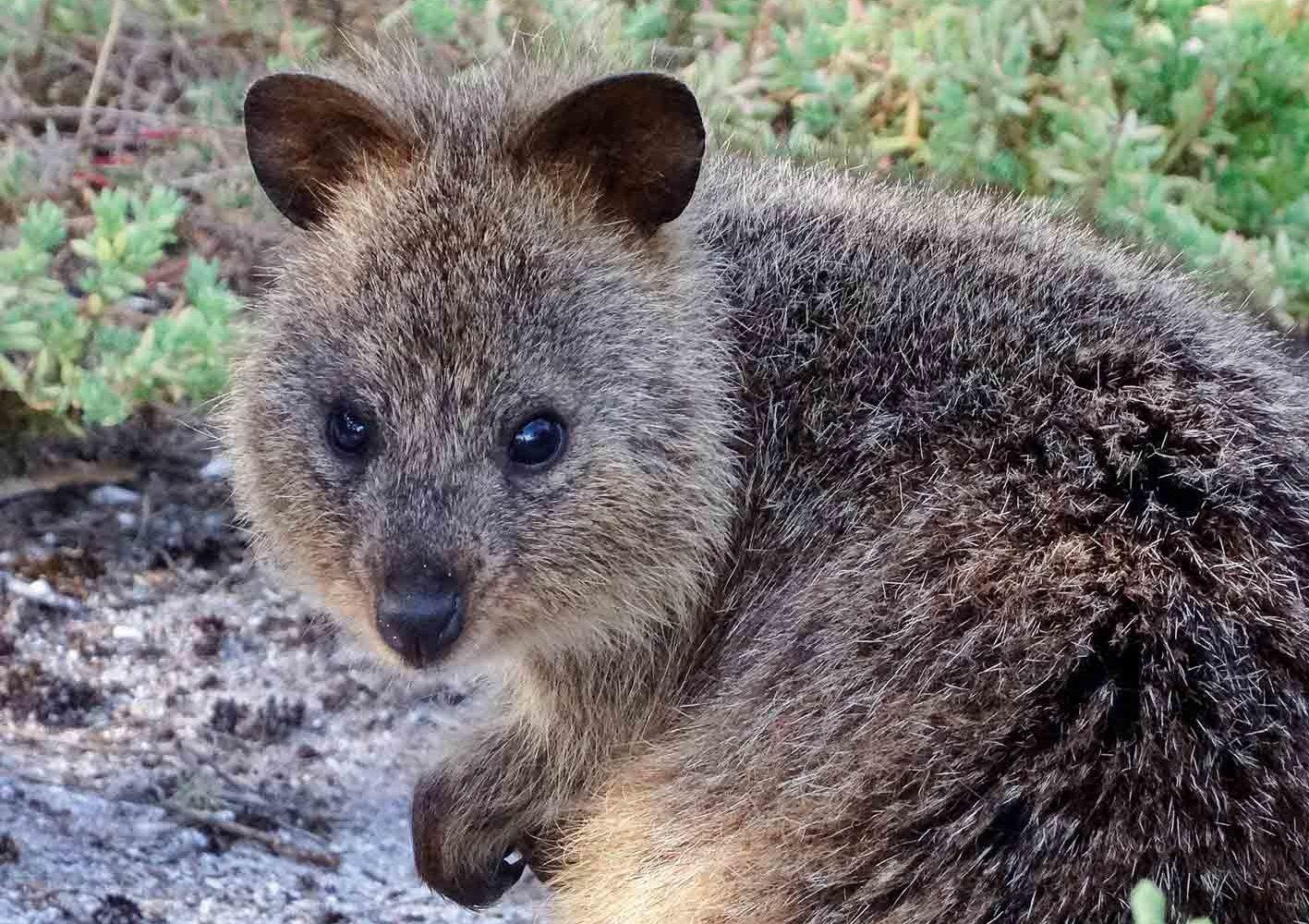 Quokka, Kurzschwanzkänguru, West-Australien