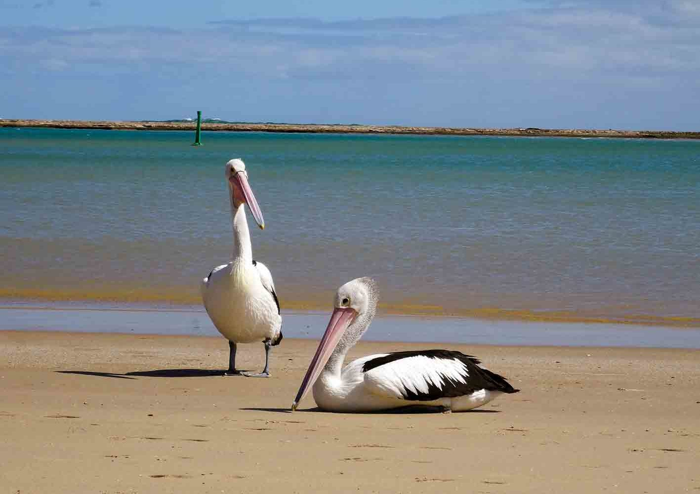 Pelikane am Strand, West-Australien