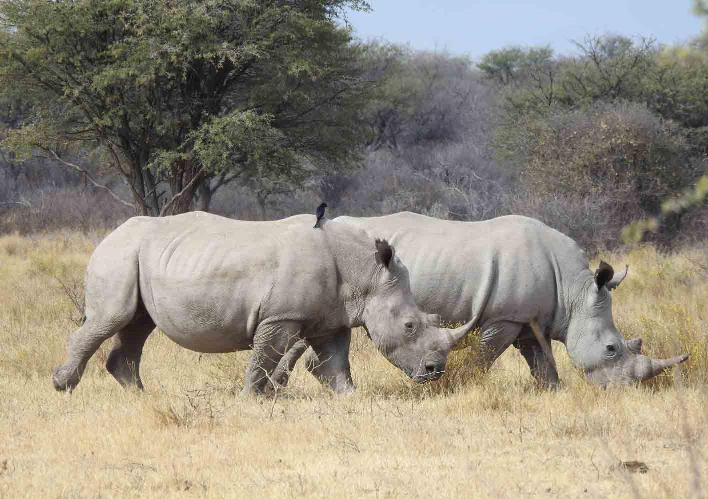 Nashörner in Botswana