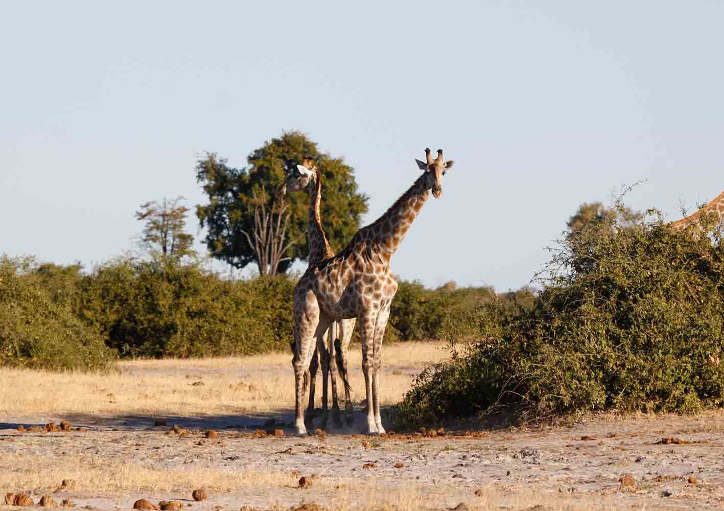 neugierige Giraffen in Botswana