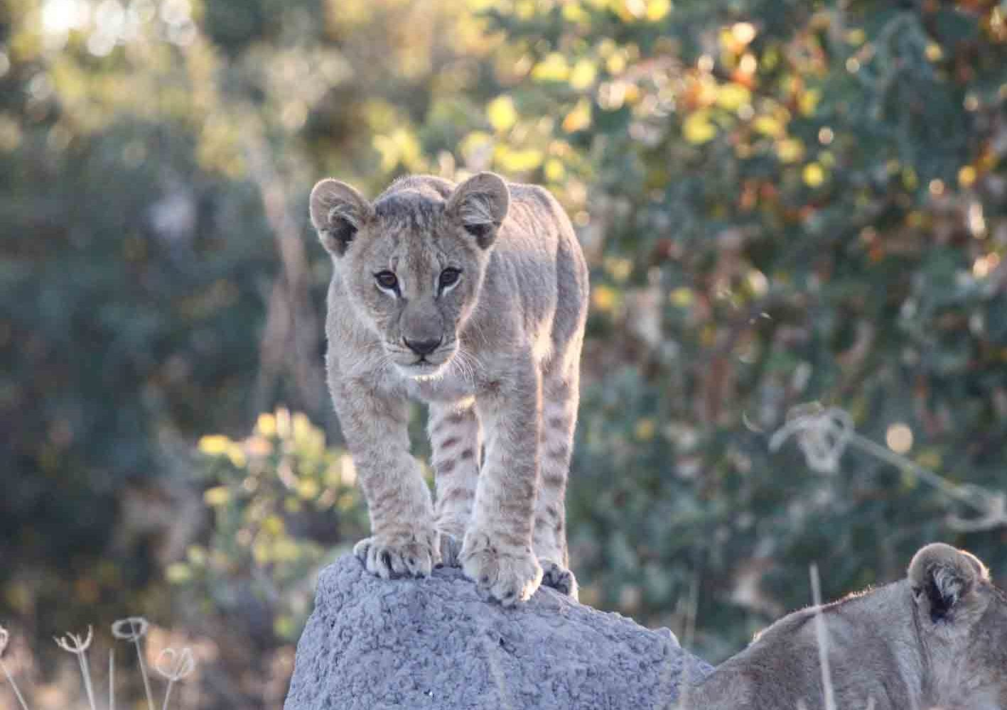 Junger Löwe in Botswana