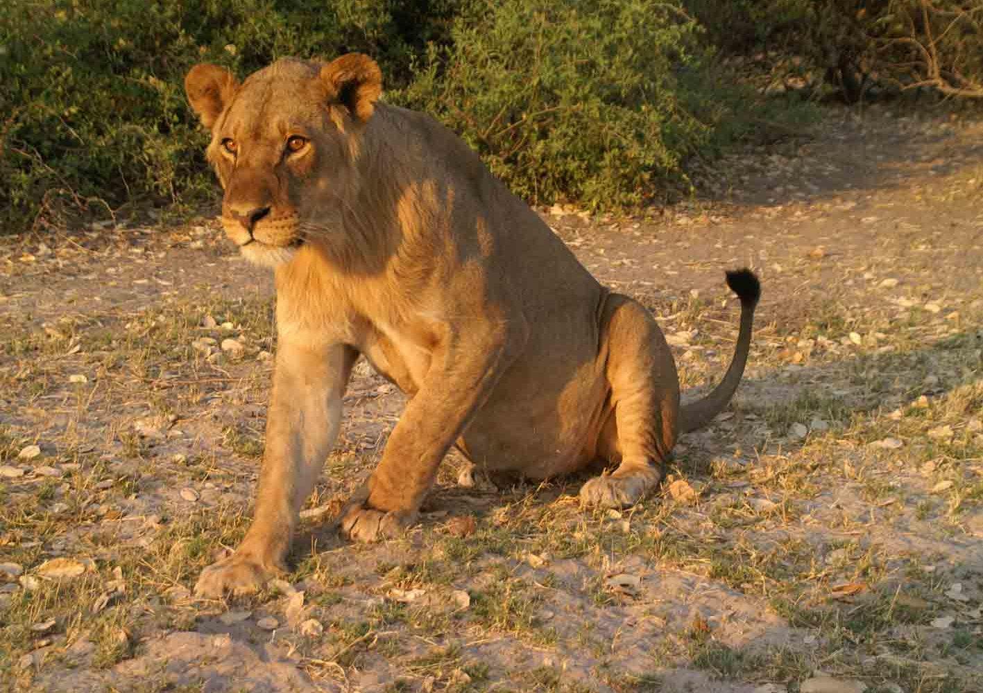 Begegnung mit Löwen in Botswana