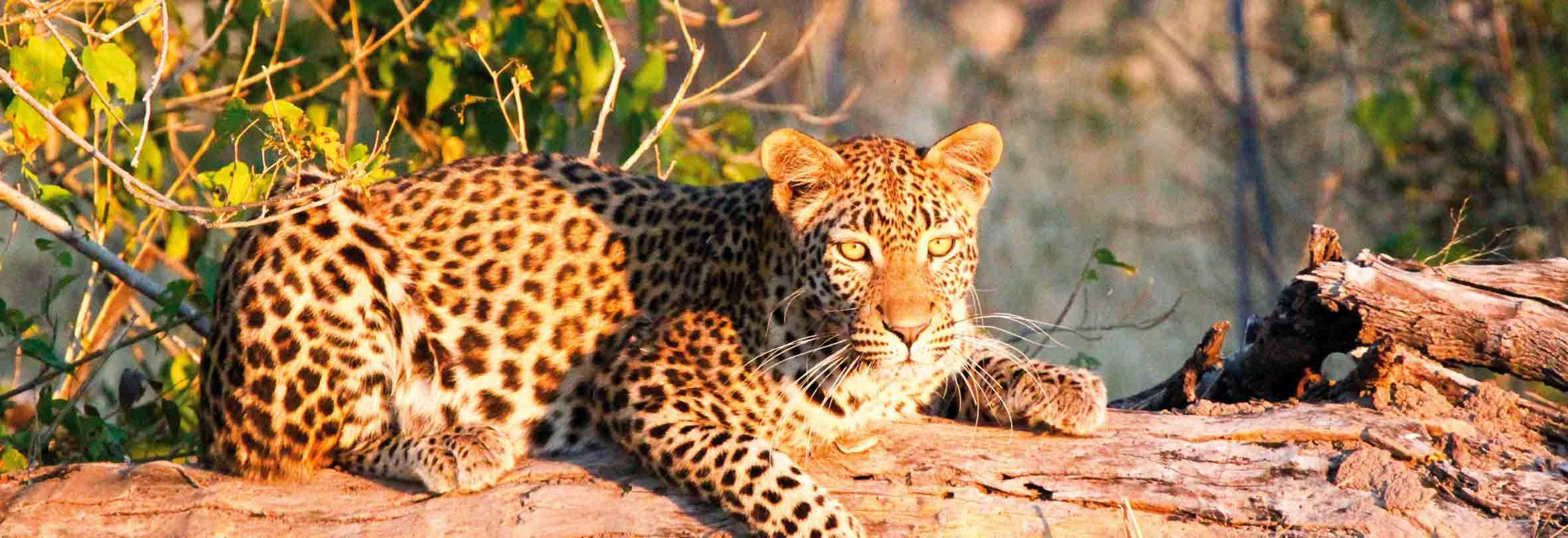 Leopard, gesichtet auf einer Abendsafari, Botswana
