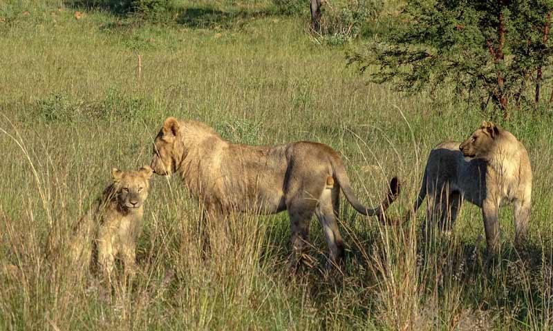 junge Löwen im Pilanesberg-Nationalpark