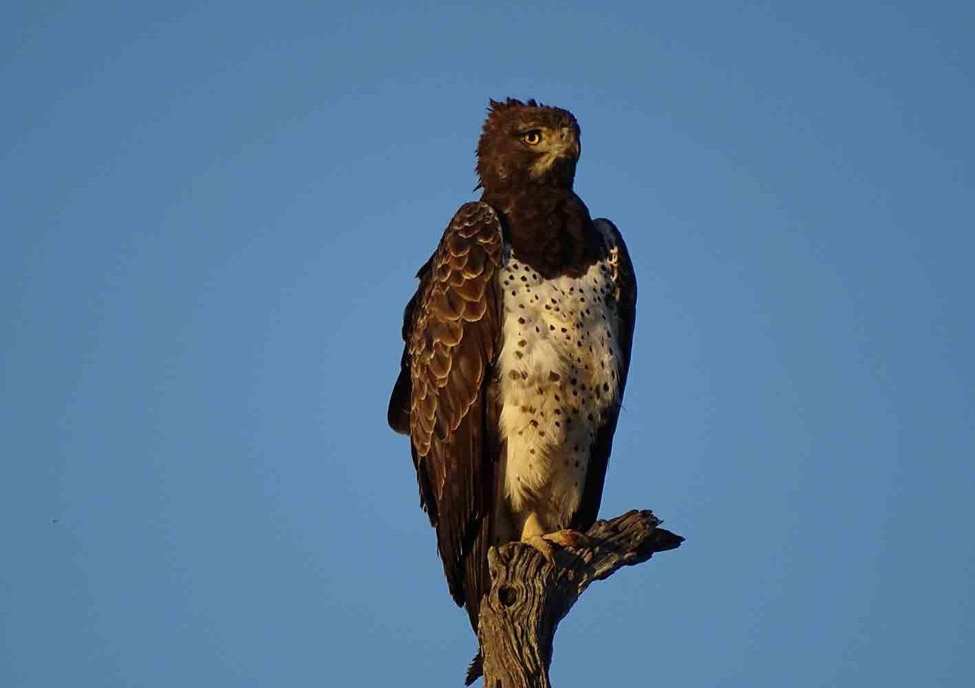 Adler im Pilanesberg-Nationalpark, Südafrika